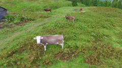 cows on a natural organic farm in the mountains. aerial view - stock footage