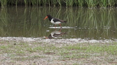 Eurasian Oystercatcher feeding in shallows Stock Footage