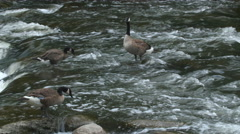 Canada geese feeding in the Don River, Toronto, Canada. Stock Footage