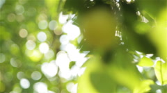 Large yellow plums in the garden Stock Footage