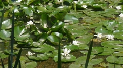 Pond with water lilies. Other aquatic plants Stock Footage