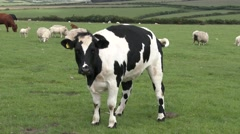 British Friesian Cow In A Field With Sheep Stock Footage
