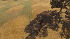 Aerial A herd of alpacas grazing in the field Stock Footage