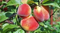 Close up peach Stock Footage