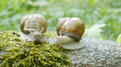 Snail on the rock in nature. Stock Footage