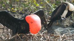 Close up of a male and female magnificent frigatebird in the galalagos islands Stock Footage