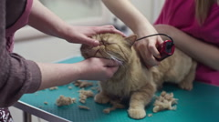 Shaving Cat Coat Stock Footage
