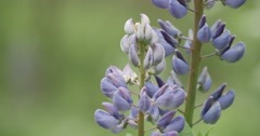 Blooming lupines in a forest Stock Footage
