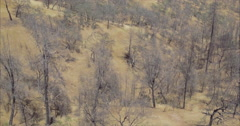 Aerial drone view of Dead trees ravaged by wildfire in california Stock Footage