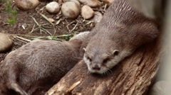 Otter Family at London Zoo -Scratching & Playing Stock Footage