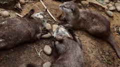 Otter Family at London Zoo - Juggling & Playing Stock Footage