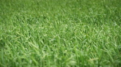 Wind Moving The Green Grass Close Up - stock footage