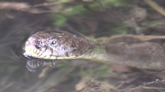 Water snake very close sticking tung out and swims away Stock Footage