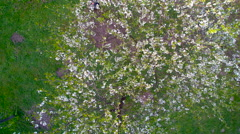 Aerial view of the cherry blossoms tree Stock Footage