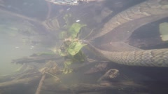Water snake under water Stock Footage
