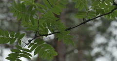 The branch sways in the wind Stock Footage