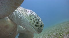 Fascinating underwater dive with grazing at the bottom of the green turtles. Stock Footage