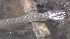 water snake pan full body - stock footage