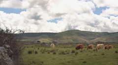 Cows On The Field Under The Mountain Stock Footage