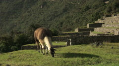 Brown and white llama grazing at machu picchu Stock Footage