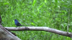 Indigo Bunting bird blue Stock Footage