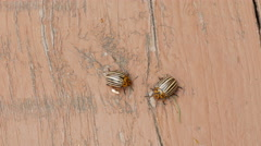 Colorado beetles on a wood table Stock Footage