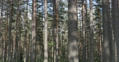 Pine forest sways from the wind Stock Footage