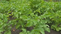 Potato plants in the garden Stock Footage