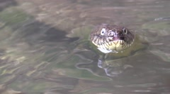 Water snake sticking head zoom out Stock Footage