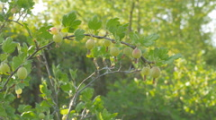 Gooseberry on bush Stock Footage