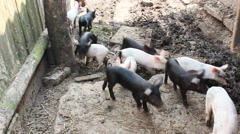 Piglets run in the yard Stock Footage