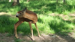 Wild roe deer in the forest - stock footage