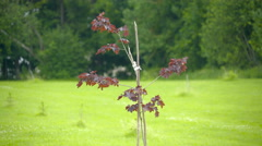 The red maple plant on the frontyard Stock Footage