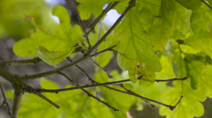 Green leaves of the oak tree Stock Footage