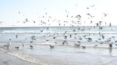 Seagulls noisy celebration at the Atlantic shore. - stock footage