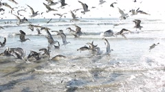 Fighting for food. Seagulls celebrate the newly arrived fish. Stock Footage