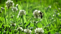 Bee collects nectar from a white clover in the nature. Stock Footage