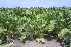 Sugar beets. Stock Photos