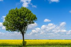 Green Tree In Yellow Rapeseed Flowers Field With Blue Sky - stock photo