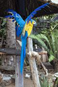 Blue and yellow Macaw Parrot with Clipped Stretched Wings - stock photo