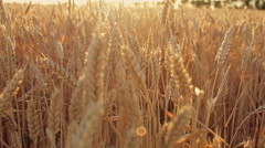 Field of wheat at sunset Stock Footage