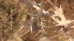 Dry prickly plant in the wind - stock footage