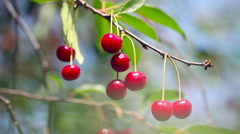 Ripe cherry ; beautiful,ripe cherries are ready for picking rocking in the Stock Footage