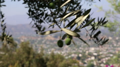 CLOSE UP: OLIVE TREE BRANCH - MOS - stock footage