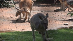 Red Kangaroo Stock Footage