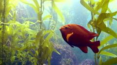 Garibaldi Playing with Kelp Stock Footage