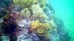 Colorful Gorgonians Stock Footage