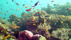 School of Anthias over Coral - stock footage