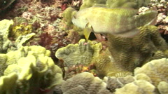 Flagtail Grouper Stock Footage