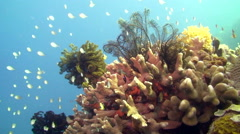Coral Bommie & Sealife - stock footage